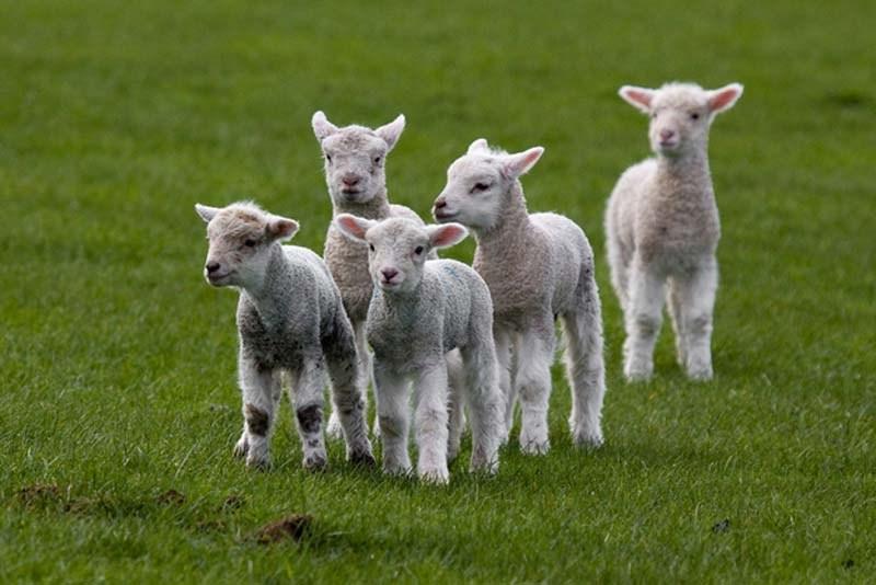 cuenta ovejitas-01
